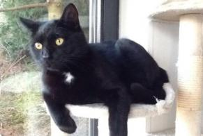 Disappearance alert Cat européen  Male , 5 years Wavre Belgium