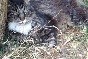 Disappearance alert Cat  Male , 10 years La Grange des Champs Belgium
