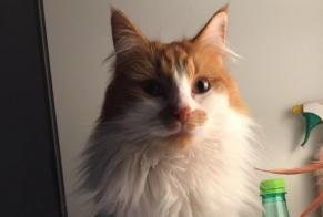 Disappearance alert Cat miscegenation Male , 3 years Amay Belgium