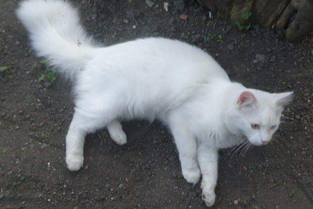 Disappearance alert Cat miscegenation Male , 6 years Yvoir Belgium