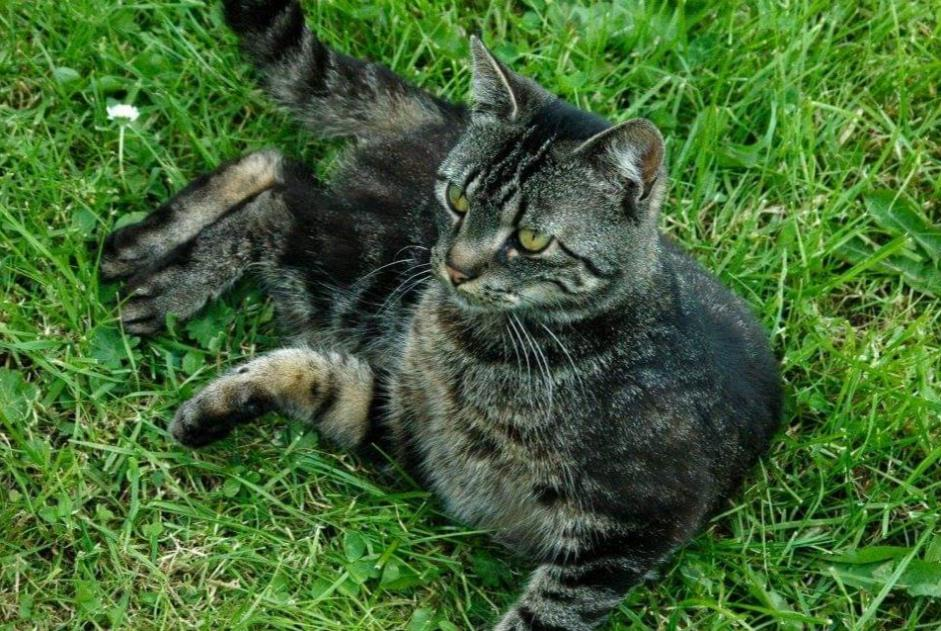 Disappearance alert Cat Female , 12 years Chaumont-Gistoux Belgium