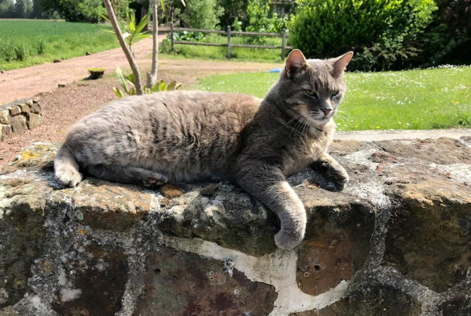 Disappearance alert Cat Male , 8 years Chièvres Belgium