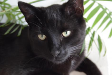 Disappearance alert Cat Male , 3 years Chaumont-Gistoux Belgium