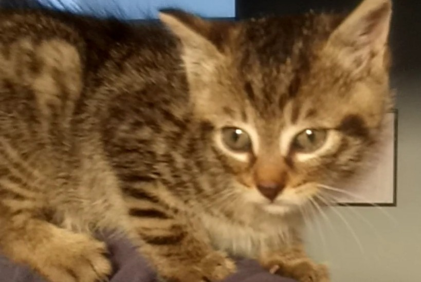 Discovery alert Cat Male , Between 1 and 3 months Nivelles Belgium