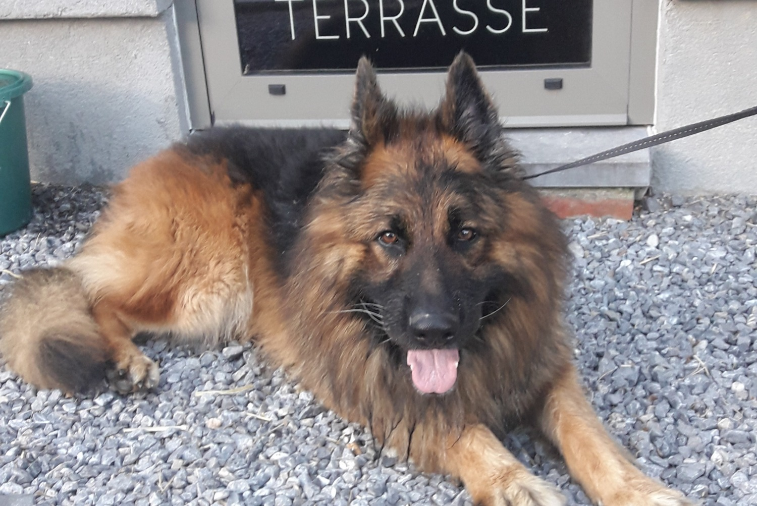 Discovery alert Dog  Male , 3 years Durbuy Belgium