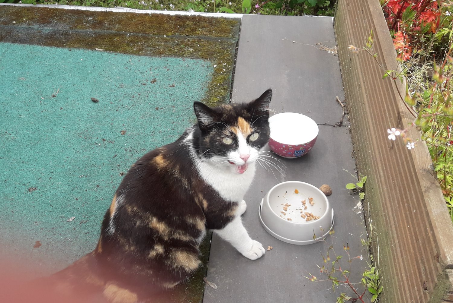 Discovery alert Cat  Female , 2 years Tubize Belgium
