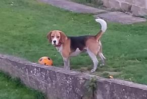 Disappearance alert Dog  Male , 3 years Jemeppe-sur-Sambre Belgium