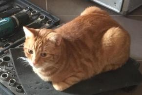 Disappearance alert Cat  Male , 4 years Mons Belgium