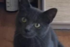 Disappearance alert Cat Male , 2 years Anderlecht Belgium