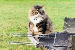 Disappearance alert Cat miscegenation Male , 10 years Waterloo Belgium