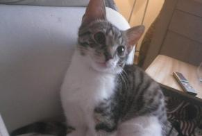 Disappearance alert Cat Male , 1 years Beersel Belgium