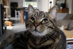 Disappearance alert Cat Male , 2 years Lobbes Belgium