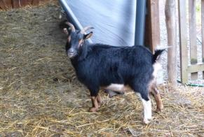 Discovery alert Goat Unknown Profondeville Belgium