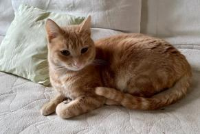 Disappearance alert Cat Male , 2 years Woluwe-Saint-Pierre Belgium