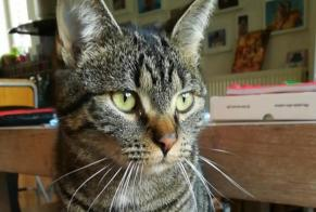Disappearance alert Cat Male , 2 years Liège Belgium